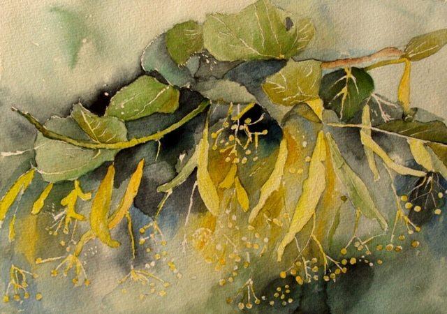Zdzisława Andrys-Arcimowicz: Kwiat lipy, akwarela