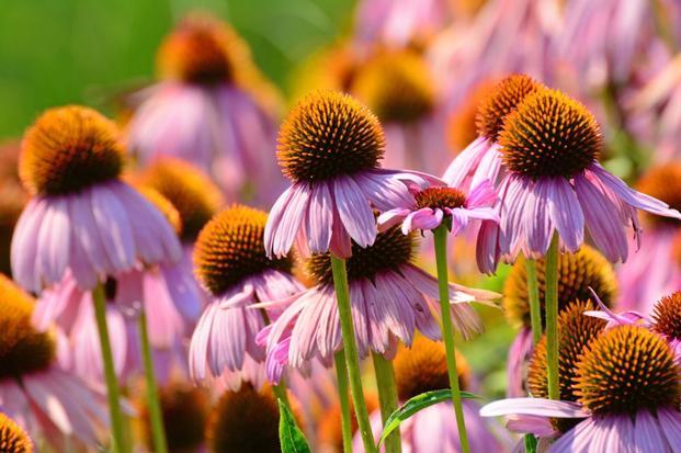 W przypadku nawracających przeziębień warto sięgnąć po preparat z jeżówki purpurowej (Echinacea purpurea), który zmobilizuje nasz układ odpornościowy.