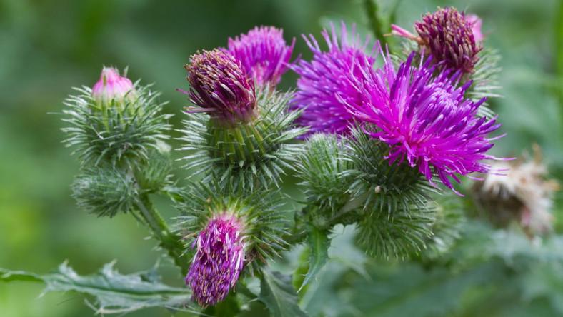 W lecznictwie wykorzystuje się nasiona ostropestu plamistefo (Silybum marianum), które stanowią źródło drogocennej sylimaryny.